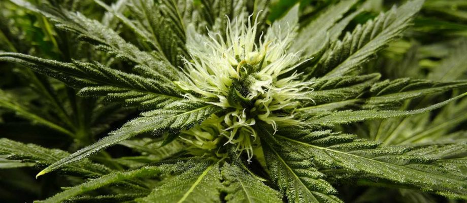 The Health Benefits of Using Flower Instead of Edibles