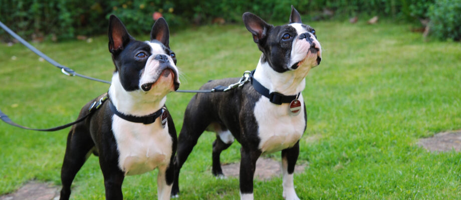 6 Tips on Training Your Boston Terrier